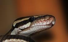 पत्नी की हत्या कर शव को कोबरा से कटवाकर की घटना को हादसा साबित करने की कोशिश, पुलिस ने किया गिरफ्तार